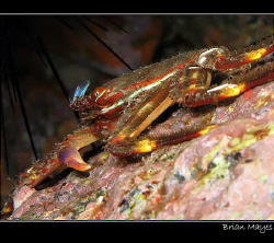Flat Crab (Percnon gibbesi) from Tenerife. Tricky little ... by Brian Mayes 